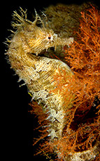 Lined Seahorse (Hippocampus erectus) © Susan Mears