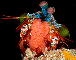 Peacock Mantis Shrimp with Eggs © Susan Mears